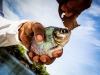 Brazil Piranha Web