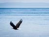 Bald Eagle and Sailboat
