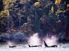 Orca Blasts.
