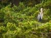 Blue Heron in Trees.